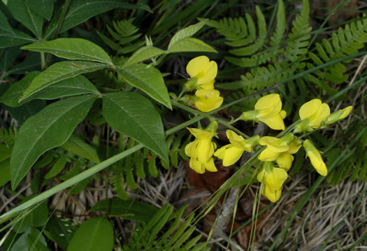 flower of Thermopsis mollis, Appalachian Golden-banner, Allegheny Mountain Golden-banner, Bush Pea
