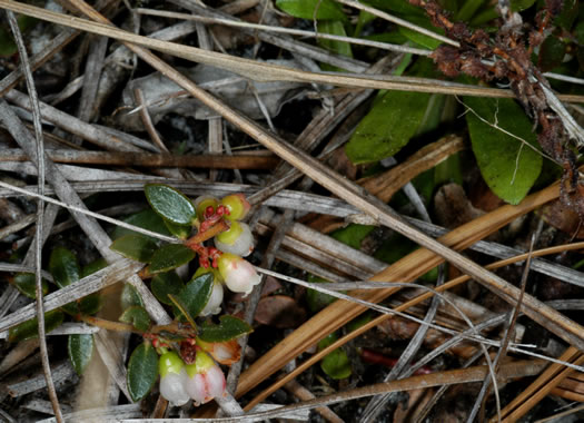 image of Vaccinium crassifolium, Creeping Blueberry