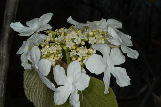 flower of Viburnum lantanoides, Hobblebush, Moosewood, Witch Hobble, Tangle-legs