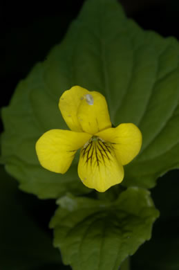 image of Viola pubescens, Hairy Yellow Forest Violet