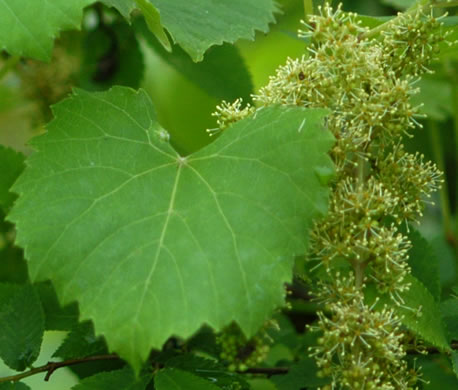 flower of Vitis vulpina, Frost Grape, Winter Grape, Chicken Grape