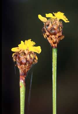 flower of Xyris fimbriata, Giant Yellow-eyed Grass