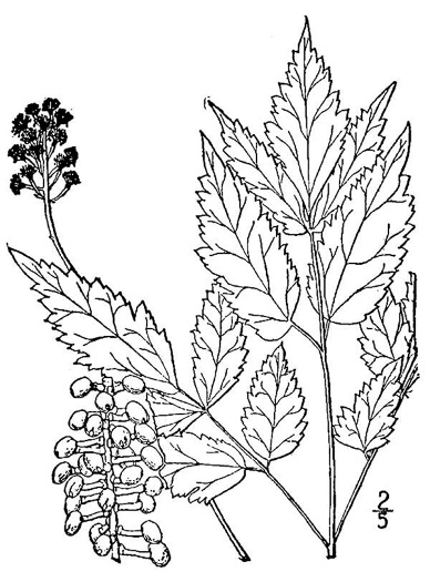 drawing of Actaea pachypoda, Doll's-eyes, White Baneberry, White Cohosh
