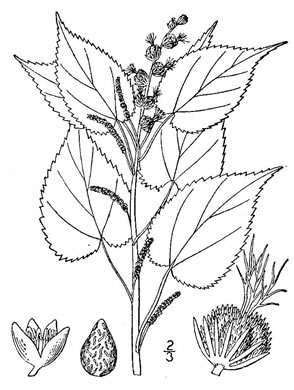picture of Acalypha ostryaefolia, image of Acalypha ostryifolia