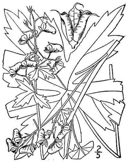 drawing of Aconitum reclinatum, Trailing Wolfsbane, White Monkshood, White Aconite
