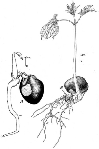 image of Aesculus flava, Yellow Buckeye