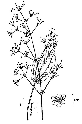 drawing of Alisma subcordatum, Southern Water-plantain, American Water-plantain