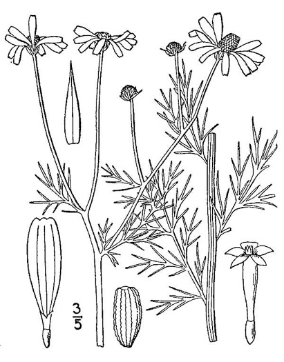 image of Anthemis cotula, Stinking Chamomile, Stinking Mayweed, Dog-fennel