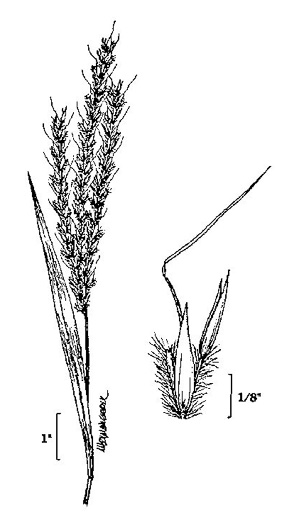 image of Andropogon gerardii