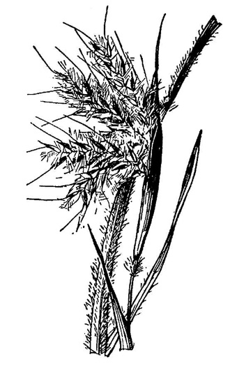picture of Andropogon mohrii, image of Andropogon mohrii