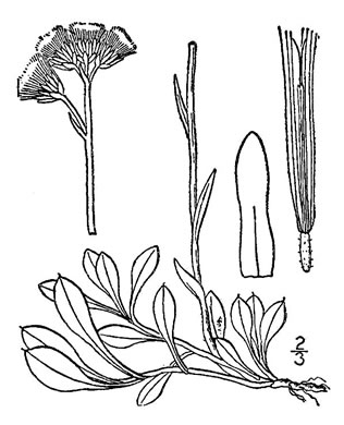 image of Antennaria howellii ssp. neodioica