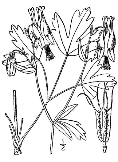 drawing of Aquilegia canadensis, Eastern Columbine, Canada Columbine