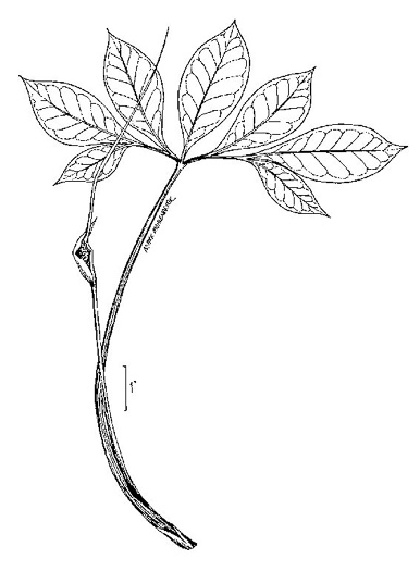 image of Arisaema dracontium, Green Dragon