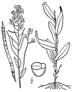 image of Arabis patens, Spreading Rockcress