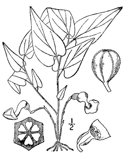 image of Endodeca serpentaria, Turpentine-root, Virginia Snakeroot, Serpent Birthwort