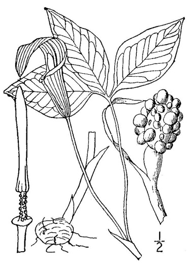 image of Arisaema triphyllum, Common Jack in the Pulpit , Indian Turnip