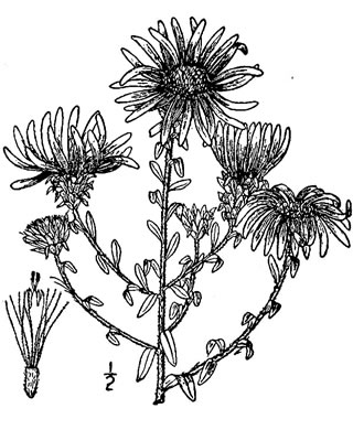 image of Symphyotrichum grandiflorum, Big-headed Aster, Rough Aster, Large-headed Aster