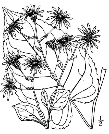 image of Eurybia macrophylla, Large-leaf Aster, Big-leaved Aster
