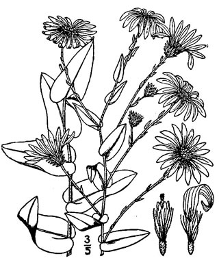picture of Aster patens, image of Symphyotrichum patens var. patens