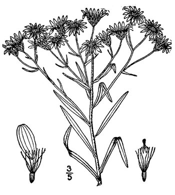 image of Solidago ptarmicoides