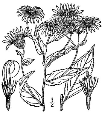 image of Eurybia radula, Rough-leaved Aster, Low Rough Aster