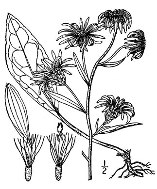 image of Eurybia spectabilis, Low Showy Aster