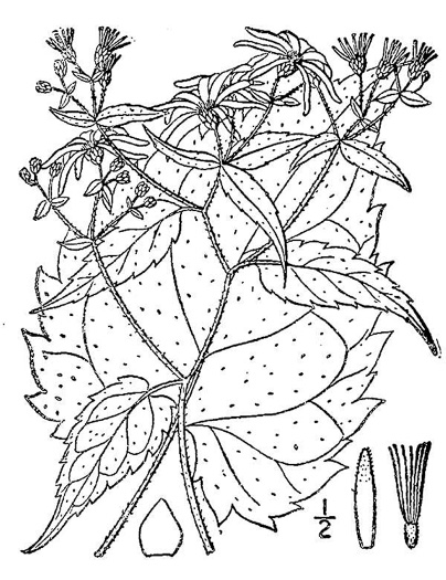 image of Eurybia divaricata