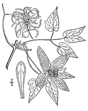 drawing of Clematis occidentalis var. occidentalis, Mountain Clematis, Purple Clematis