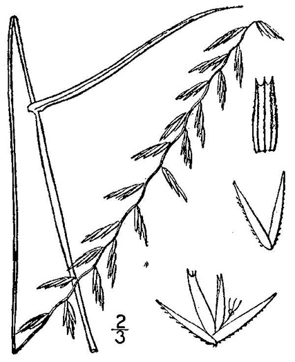 picture of Bouteloua curtipendula, image of Bouteloua curtipendula var. curtipendula