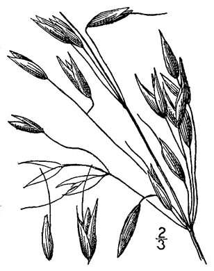 image of Avena sativa