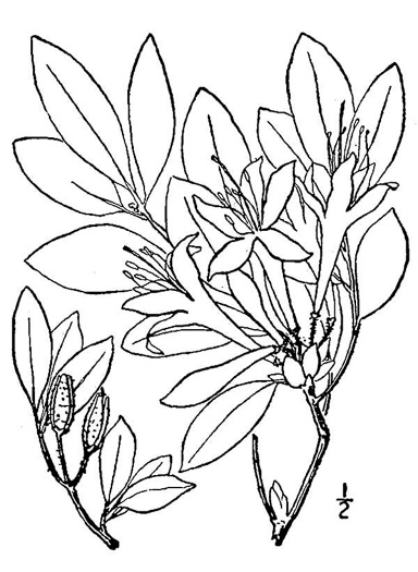 image of Rhododendron arborescens