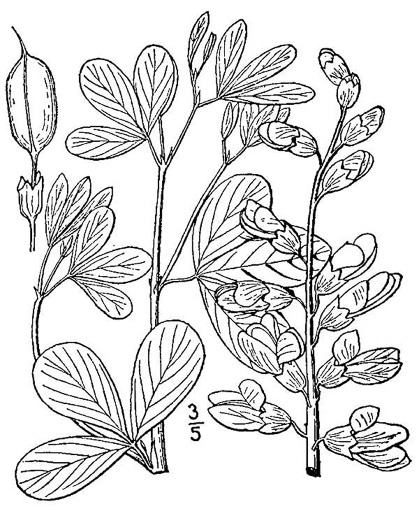 picture of -, image of Baptisia leucantha