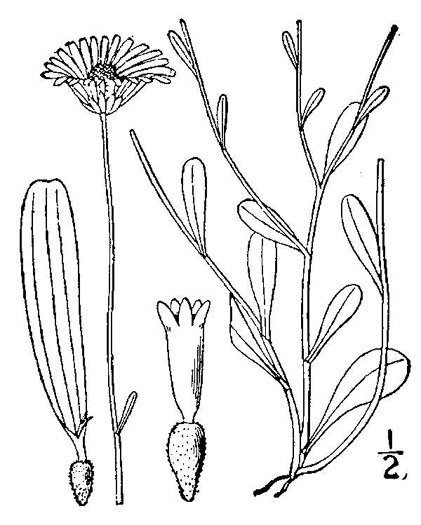 image of Astranthium integrifolium