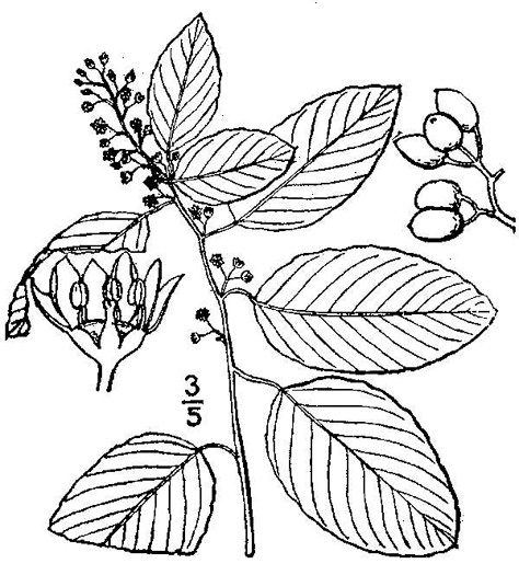 picture of Berchemia scandens, image of Berchemia scandens