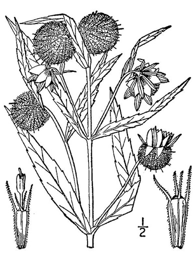 image of Bidens cernua, Nodding Beggarticks, Nodding Bur-marigold
