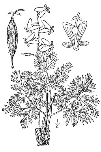 image of Dicentra cucullaria, Dutchman's Britches
