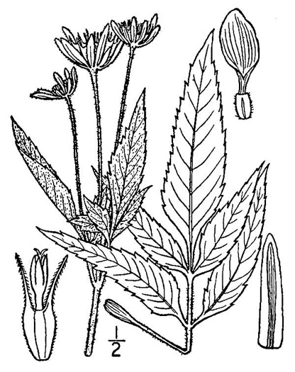 image of Bidens vulgata, Tall Beggar-ticks
