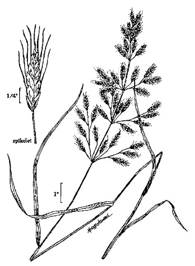 image of Bromus japonicus, Japanese Chess