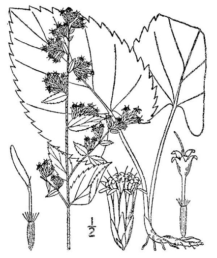 picture of Solidago sphacelata, image of Solidago sphacelata
