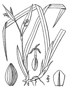 image of Carex abscondita, thicket sedge