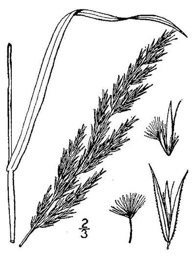 image of Calamagrostis coarctata, Nuttall's Reedgrass