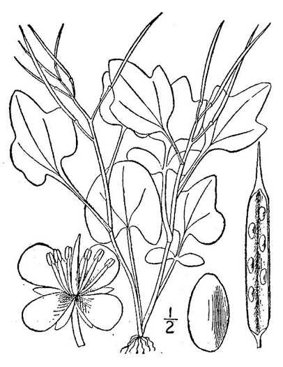 image of Cardamine clematitis, Mountain Bittercress, Clematis-leaved Bittercress