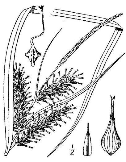 image of Carex lupuliformis