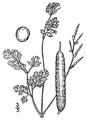 picture of -, image of Corydalis micrantha