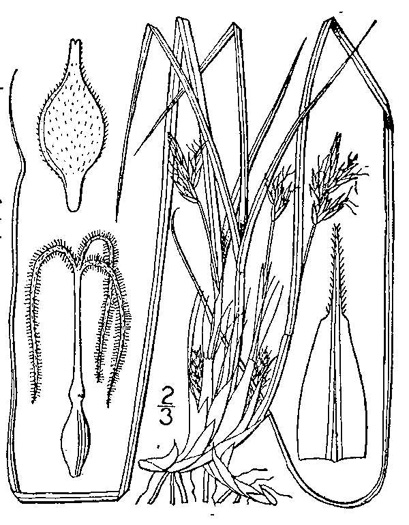 image of Carex nigromarginata, Black-edged Sedge