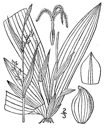 image of Carex platyphylla
