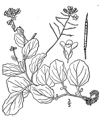 image of Cardamine rotundifolia, Mountain Watercress, American Bittercress