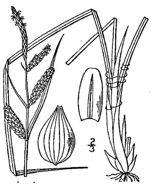 image of Carex stricta, Tussock Sedge