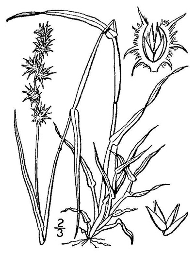 image of Cenchrus longispinus, Northern Sandspur, Common Sandspur