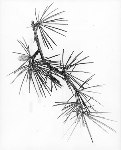 drawing of Cedrus deodara, Deodar cedar
